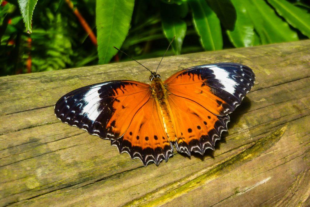 Kuranda Schmetterling